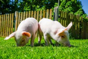 Zwei Ferkel wühlen im Gras