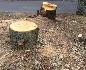 Umgesägte Bäume Plattenhardt