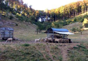 Schafe Schwäbische Alb