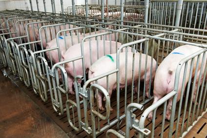 Schweine 1 Fotolia